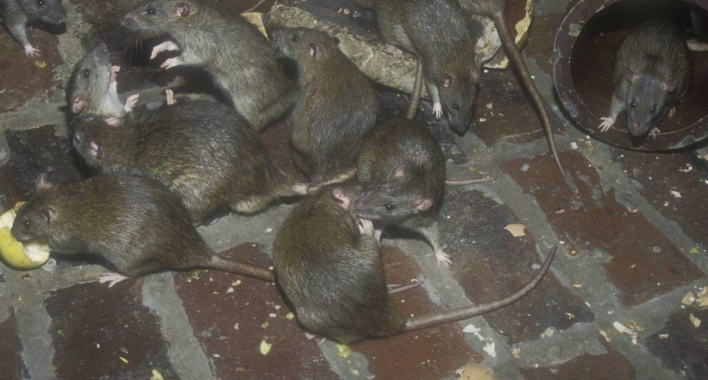 уничтожение крыс в Каспийске